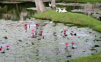 The lotus pond in pink