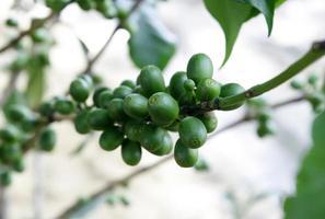 Coffee berries outside