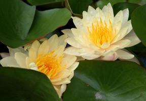 Yellow lotus flowers photo