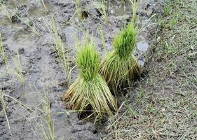 cosecha de plantas de arroz foto