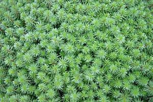 planta de hojas de pino foto
