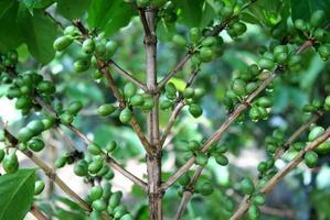 Ripe coffee berries photo