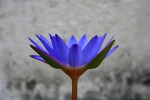 una flor de loto morada