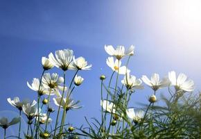 margaritas blancas sobre fondo de cielo azul foto