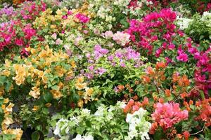 Colorful bougainvilleas flowers photo
