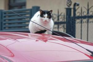 White and black cat sitting on a red car