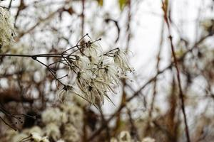 Shrub twig with dried flowers and fruits in early winter