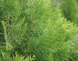 Green branch of pine-tree photo