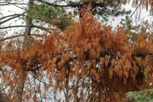 Conifer branch with rusty leaves in the forest