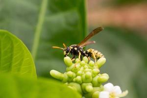 A wasp sucking on an Inflorescence plant