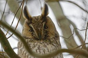 Close-up of a long-eared owl in a tree