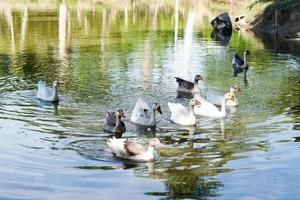 Geese in a lake photo