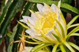 A white and yellow Pitaya flower plant outdoors