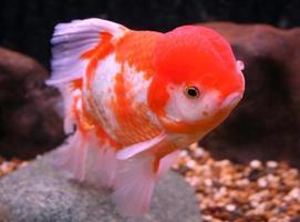 Goldfish in water