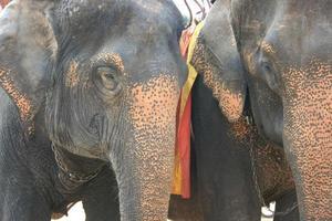 Cabeza de elefante en la granja de Tailandia