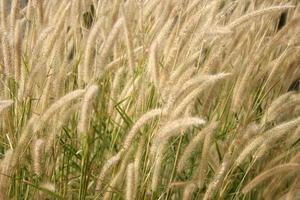 hierba calmante marrón foto