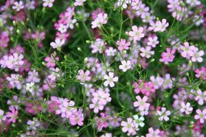 vista de la flor de gypsophila foto
