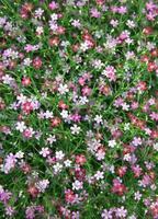 Vista cercana de flores de gypsophila foto