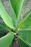 hojas de plátano en la planta