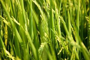 campo de arroz en tailandia foto