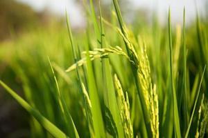 Rice field, close-up photo