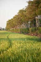 campo de arroz en tailandia