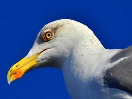 Close-up of a seagull head on blue sky background