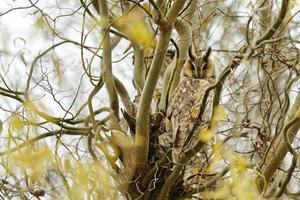 Long eared owl perching in a tree