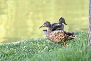 Two ducks walking on the grass by the lake