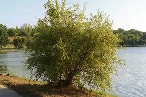 Little tree on the lakeshore in a park