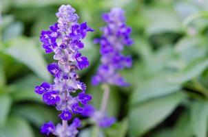 flores de salvia púrpura