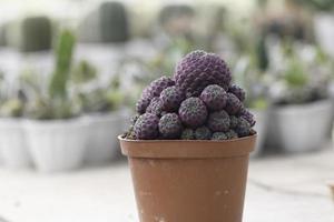 Purple cactus in pot