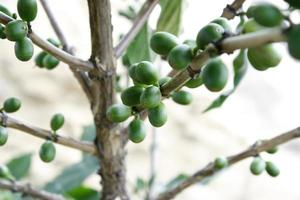 Coffee beans on the branch photo