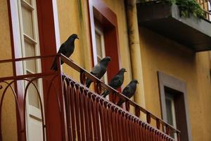 Pigeons resting on a red balcony yellow house with windows