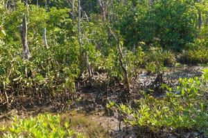 Mangroves in water photo