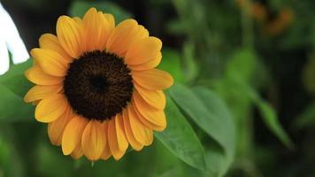 gelbe Sonnenblume blüht