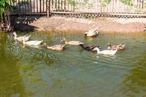grupo de patos nadando en un pantano foto