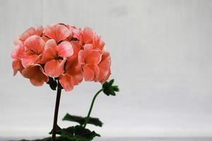 Coral hydrangea flower photo