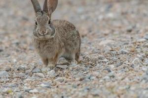 Rabbit in the Desert