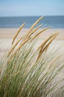 Beach dune grass photo