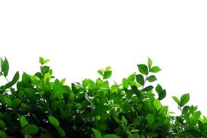 Green bush on white background
