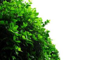 Green bush on white