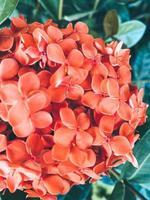 Coral hydrangea flowers photo