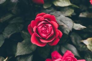 rosas rosas afuera foto