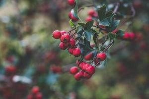 Red berries outside
