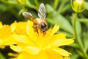 abeja buscando néctar en una flor