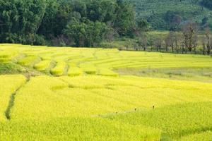 granja de arroz en tailandia foto