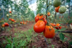 Tomatoes n a greenhouse