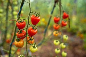 Ripe tomatoes on vines