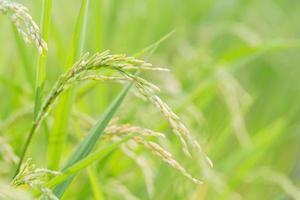 Green rice close-up photo